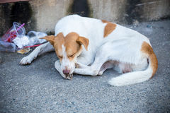 The dog was lying beside the road Stock Photography