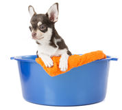 Dog washes in a basin with foam Royalty Free Stock Images