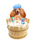 Dog washes Stock Photography