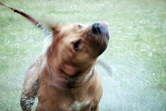 Dog washing Stock Image