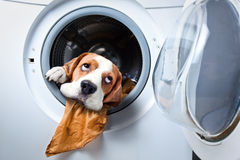 Dog after washing Royalty Free Stock Photo
