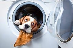 Dog after washing Royalty Free Stock Photo