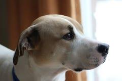 Dog watch Royalty Free Stock Photos