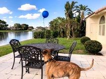 boxer dog looking at a blue balloon Royalty Free Stock Image