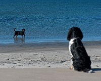 Dog watching bather dog Royalty Free Stock Photos