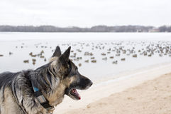 Dog Watching Birds. Shepherd dog in alert watching swimming duck in the blurred background stock photos