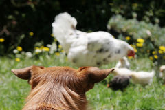 Dog watching chickens royalty free stock photos