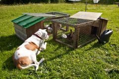 Dog watching chickens in coup royalty free stock photography
