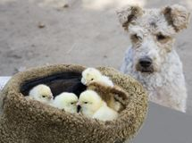 The dog is watching the chicks Royalty Free Stock Photography