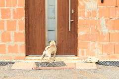 Dog watching into door Stock Image