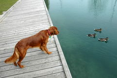 Dog is watching ducks royalty free stock photography