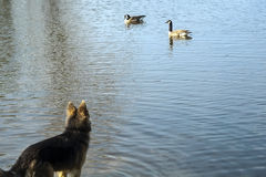 Dog is watching ducks Royalty Free Stock Photo
