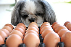 The Dog watching egg. Stock Photography