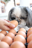 The Dog watching egg. Royalty Free Stock Image