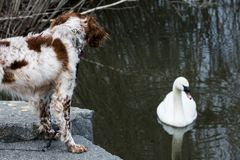 Dog watching goose in a pond Stock Photo