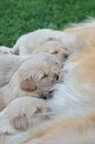 Dog watching his puppies Royalty Free Stock Photo