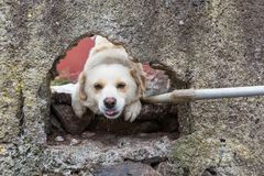 Dog watching through a hole in a wall Royalty Free Stock Image