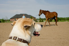 Dog watching horse training Royalty Free Stock Photography