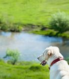 Dog watching its kingdom Royalty Free Stock Photography