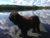 Dog watching lake scenery in summer Stock Images