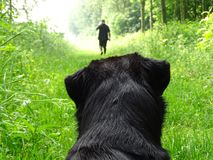 Dog watching man walking in forest Stock Images