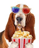 Dog Watching Movie With Popcorn. Funny Basset Hound dog wearing 3d movie glasses white eating pupcorn from a tub Royalty Free Stock Photos