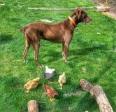 Dog watching over chicks. Chicken guard dog Stock Photo