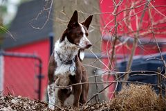 Dog Watching Over Stock Photography