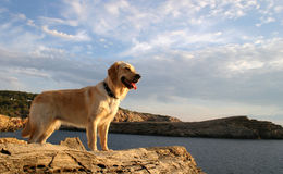 Dog Watching The Sea. Golden retriever watching the Mediterranean Sea on Ibiza island royalty free stock images