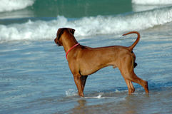 Dog watching sea Royalty Free Stock Images