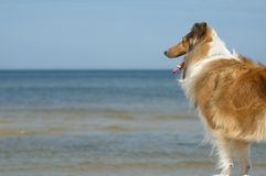 Dog watching at sea Royalty Free Stock Images