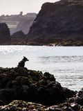 Dog watching the sea. On a sunny summer evening Royalty Free Stock Photography