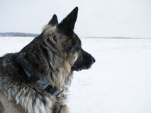 Dog Watching. Side shot of a big dog with a distant gaze lying in a snowfield Stock Image