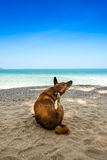 Dog watching the summer vacation view on the beach Stock Photography