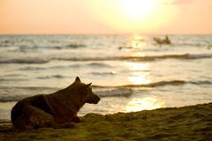 Dog watching the sunset. Picture of a dog relaxing after a swim and watching the sunset royalty free stock image