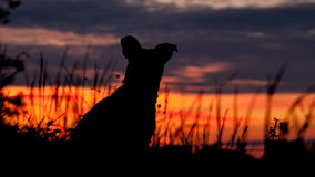 Dog watching the sunset. Silhouette of a dog watching the sun go down Royalty Free Stock Photos