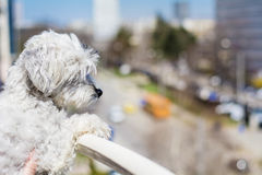 dog watching from top of balcony. Stock Images