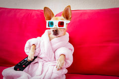 Dog watching tv on the couch. Chihuahua dog watching tv or a movie sitting on a red sofa or couch  with remote control changing the channels Stock Photos