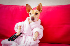 Dog watching tv on the couch. Chihuahua dog watching tv or a movie sitting on a red sofa or couch  with remote control changing the channels Royalty Free Stock Photo