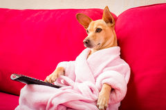 Dog watching tv on the couch. Chihuahua dog watching tv or a movie sitting on a red sofa or couch  with remote control changing the channels Royalty Free Stock Photography