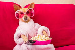Dog watching tv on the couch. Chihuahua dog watching tv or a movie sitting on a red sofa or couch  with remote control changing the channels with popcorn Royalty Free Stock Photo