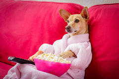 Dog watching tv on the couch. Chihuahua dog watching tv or a movie sitting on a red sofa or couch  with remote control changing the channels with popcorn Stock Photos