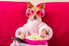 Dog watching tv on the couch. Chihuahua dog watching tv or a movie sitting on a red sofa or couch  with remote control changing the channels with popcorn Royalty Free Stock Images