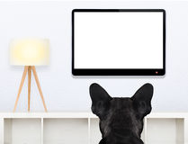 Dog watching tv. French bulldog dog in front of a blank and empty tv television or pc computer screen, and watching , in his living room Royalty Free Stock Images