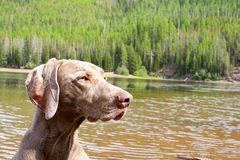 Dog and Water Royalty Free Stock Photo