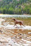 Dog and Water Royalty Free Stock Images