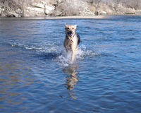 Dog in water. A dog running towards you through water Royalty Free Stock Image