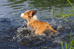 Dog in water Stock Image