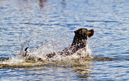 Dog in the water. A Rottweiler splashes out in the water Royalty Free Stock Image