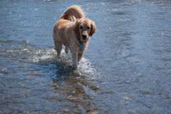 Dog in water Royalty Free Stock Photography
